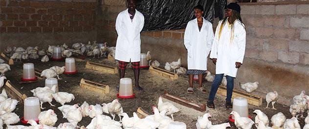 elevage de poulet ferme kellafrique