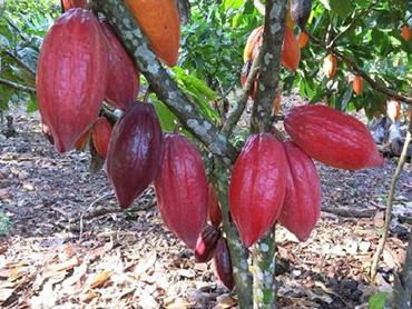 cabosses-de-cacao